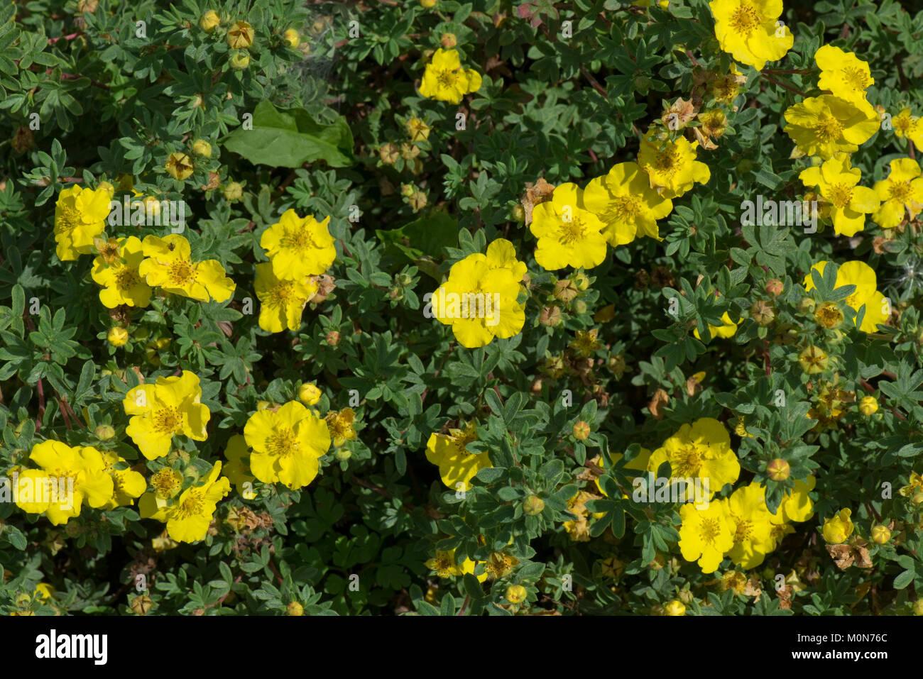 Shrubby cinquefoil elizabeth potentilla elizabeth yellow stock shrubby cinquefoil elizabeth potentilla elizabeth yellow flowers and leaves of low growing ornamental shrub berkshire august mightylinksfo