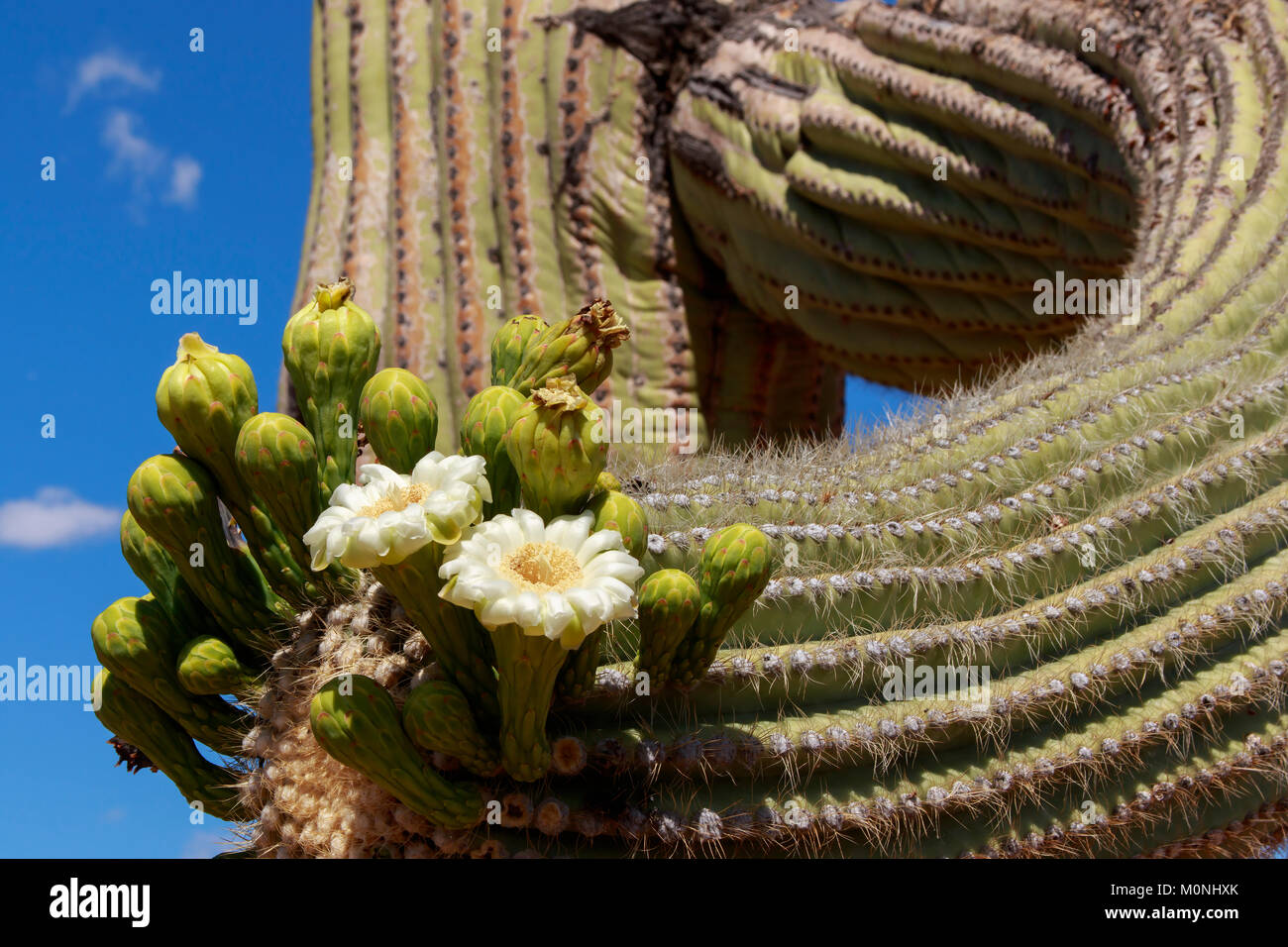 Close Up Of Saguaro Cactus In Bloom With White Flowers And Blue Sky