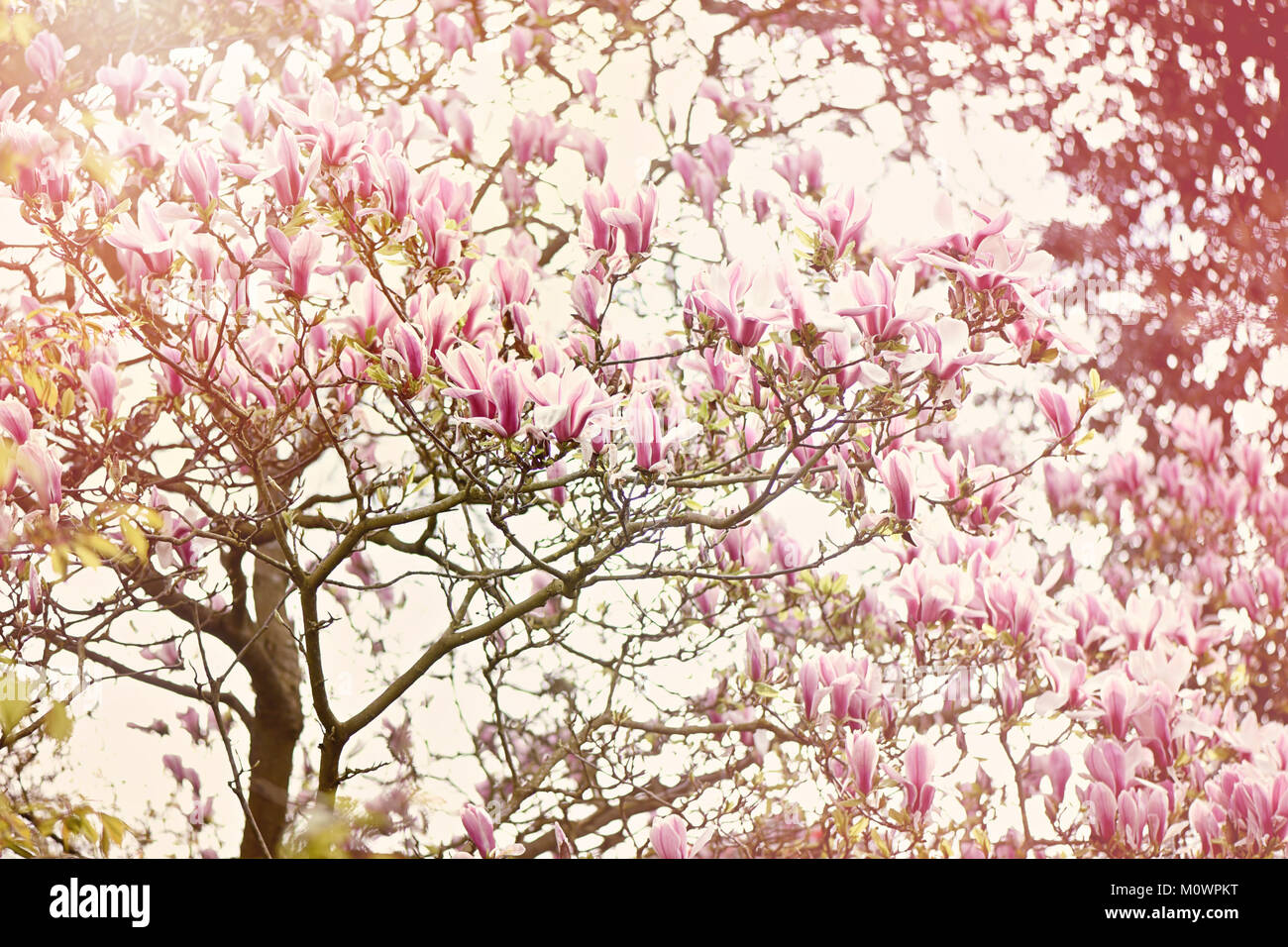 Spring flowering magnolia tree with pink flowers in hazy sunshine spring flowering magnolia tree with pink flowers in hazy sunshine mightylinksfo