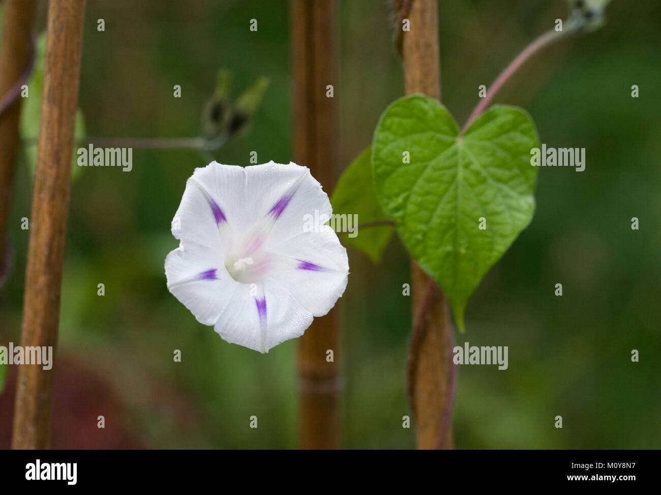 Ipomoea Milky Way Flower White Morning Glory Flower Stock Photo