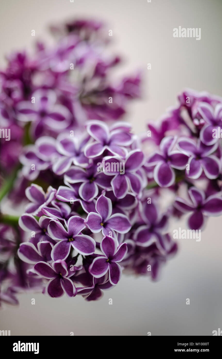 sensation lilac stock photos sensation lilac stock. Black Bedroom Furniture Sets. Home Design Ideas