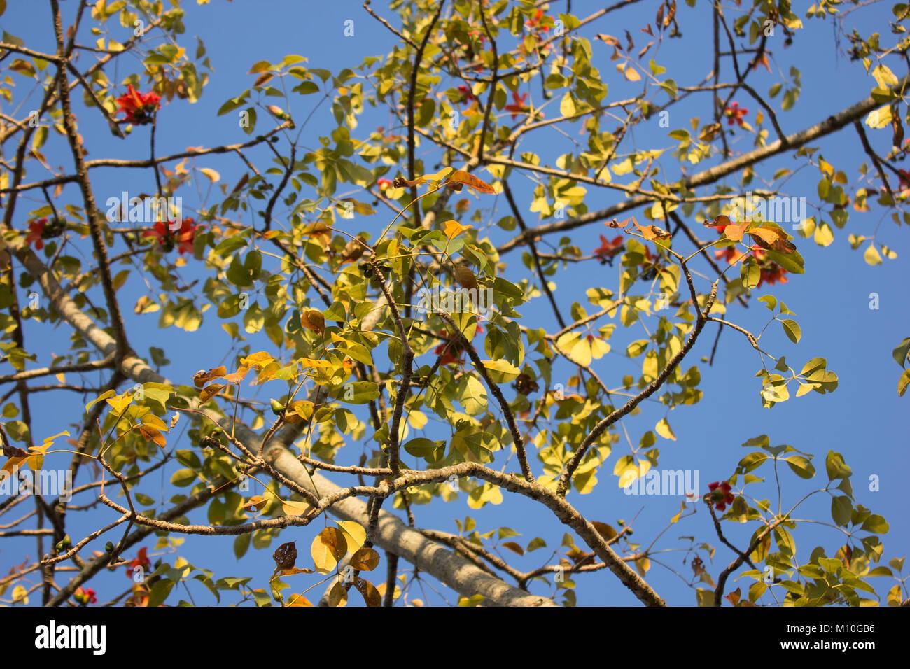 Leaf of bombax ceiba tree with blue sky background stock photo leaf of bombax ceiba tree with blue sky background izmirmasajfo