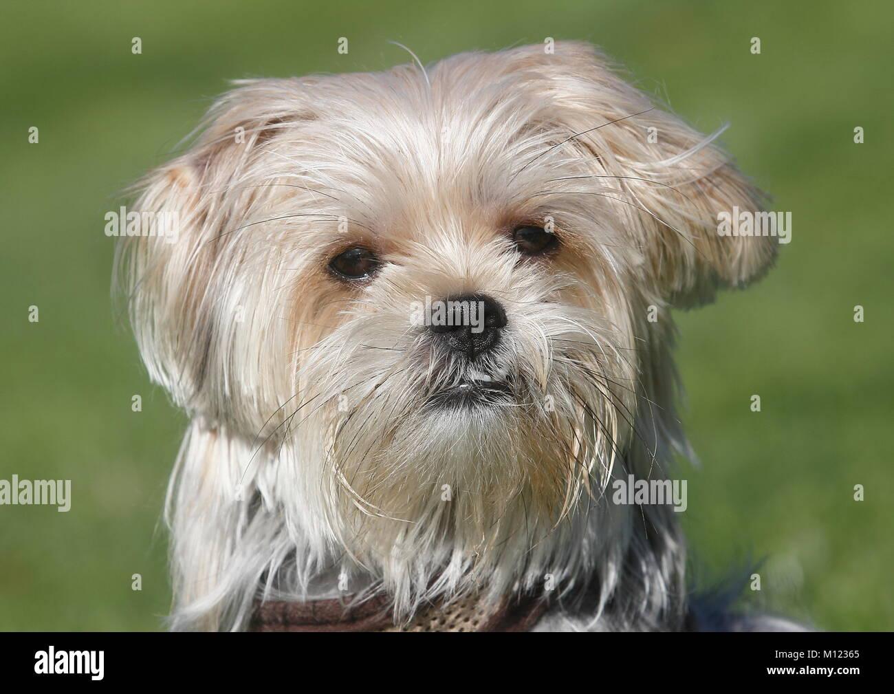 Yorkie Shih Tzu Mongrelmale1 Yearportraitnorth Stock Photo
