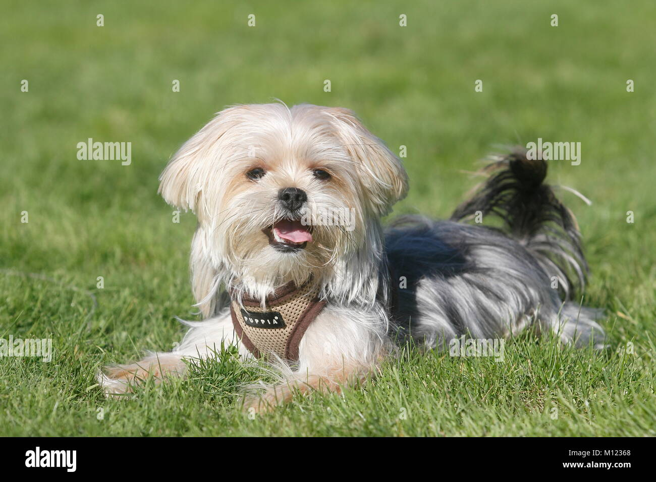 Yorkie Shih Tzu Mongrelmale1 Yearlies On The Meadownorth Stock
