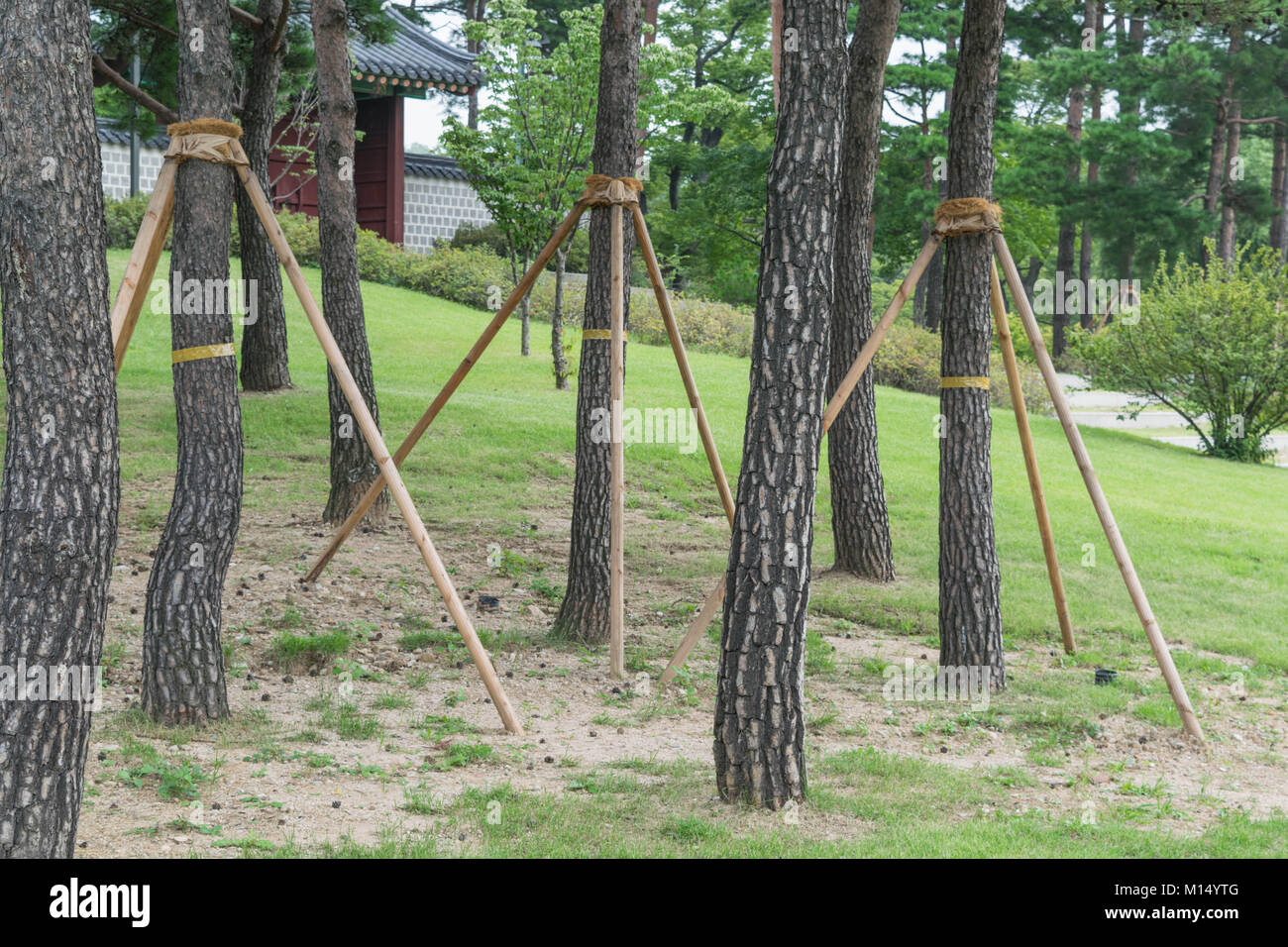 tree supports young trees being supported by wooden stakes stock