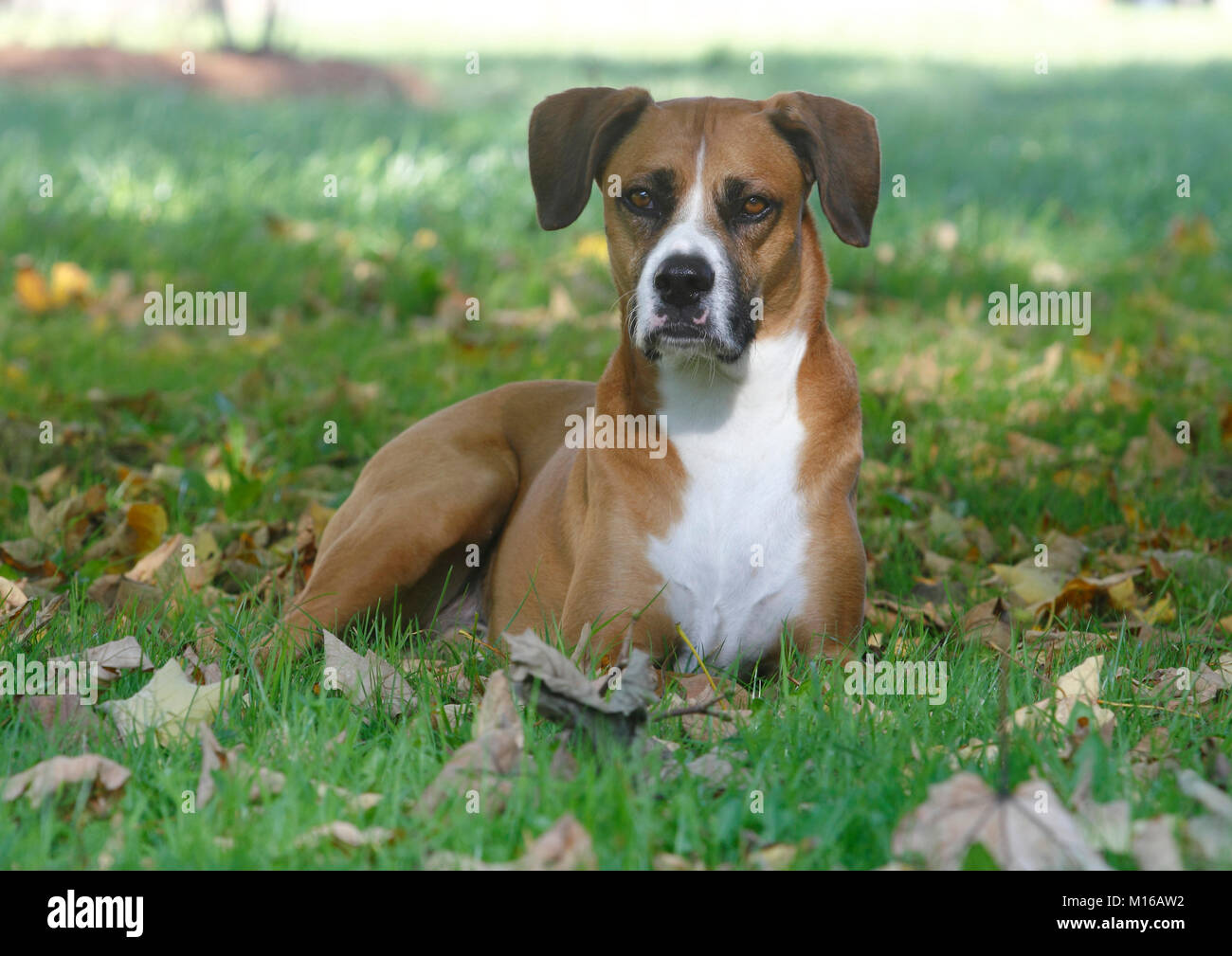 Boxer Aussie Mongrel, Male, 6 Years Old, Lies On The Meadow, North