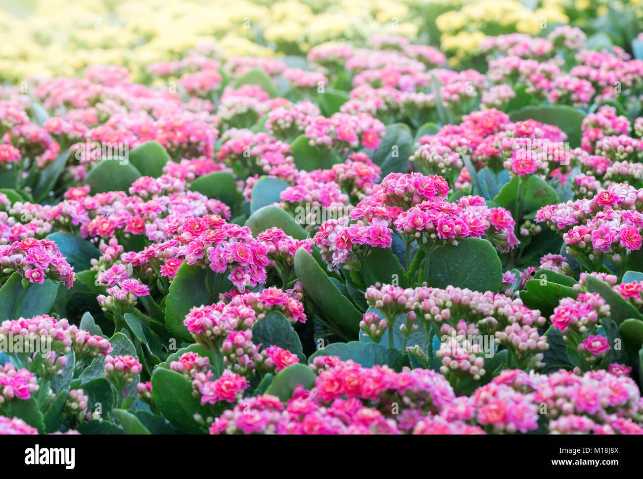 Beautiful pink kalanchoe or flaming katy flower in garden stock beautiful pink kalanchoe or flaming katy flower in garden izmirmasajfo