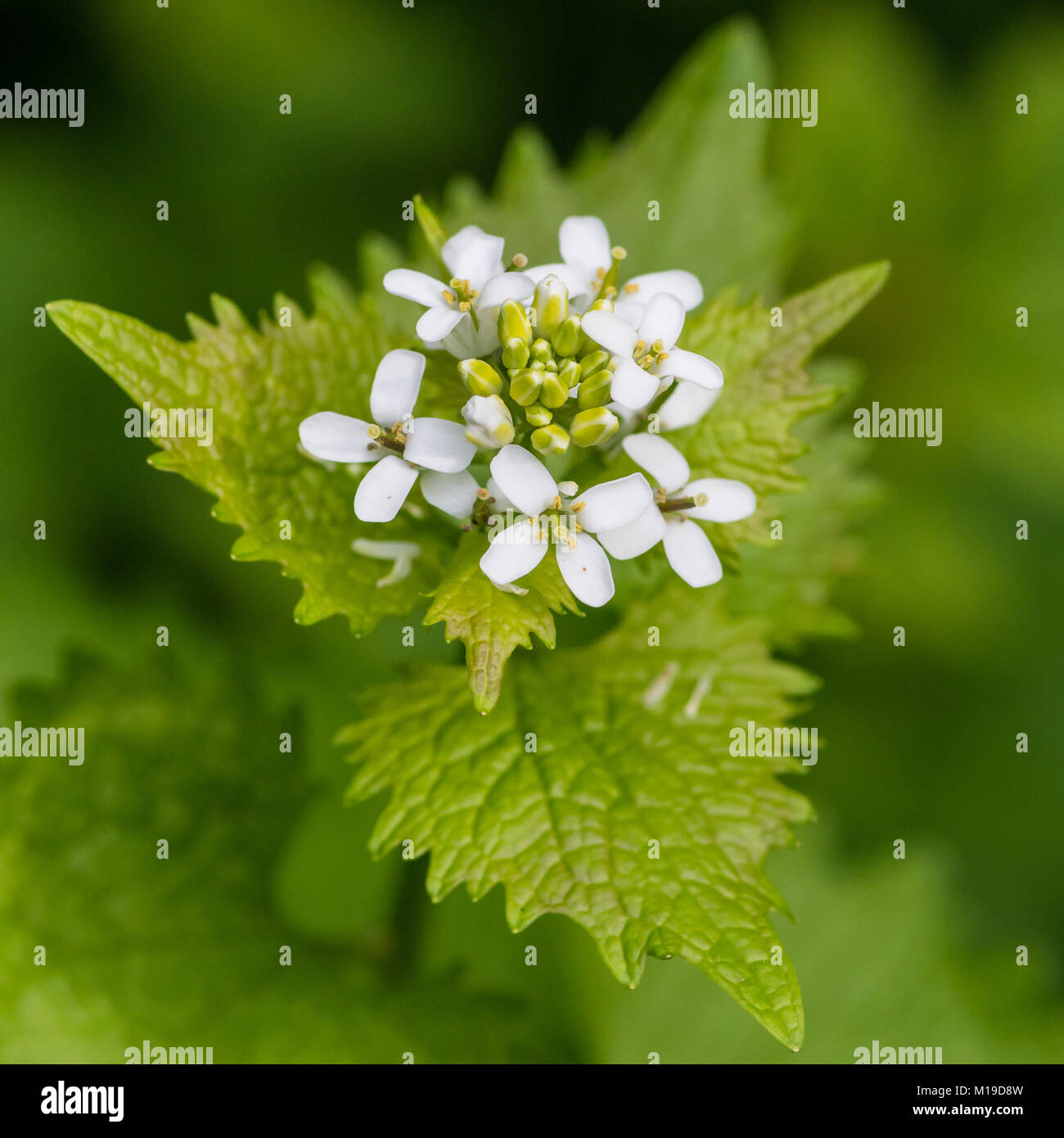 A Macro Shot Of The Pretty White Flowers Of A Garlic Mustard Plant