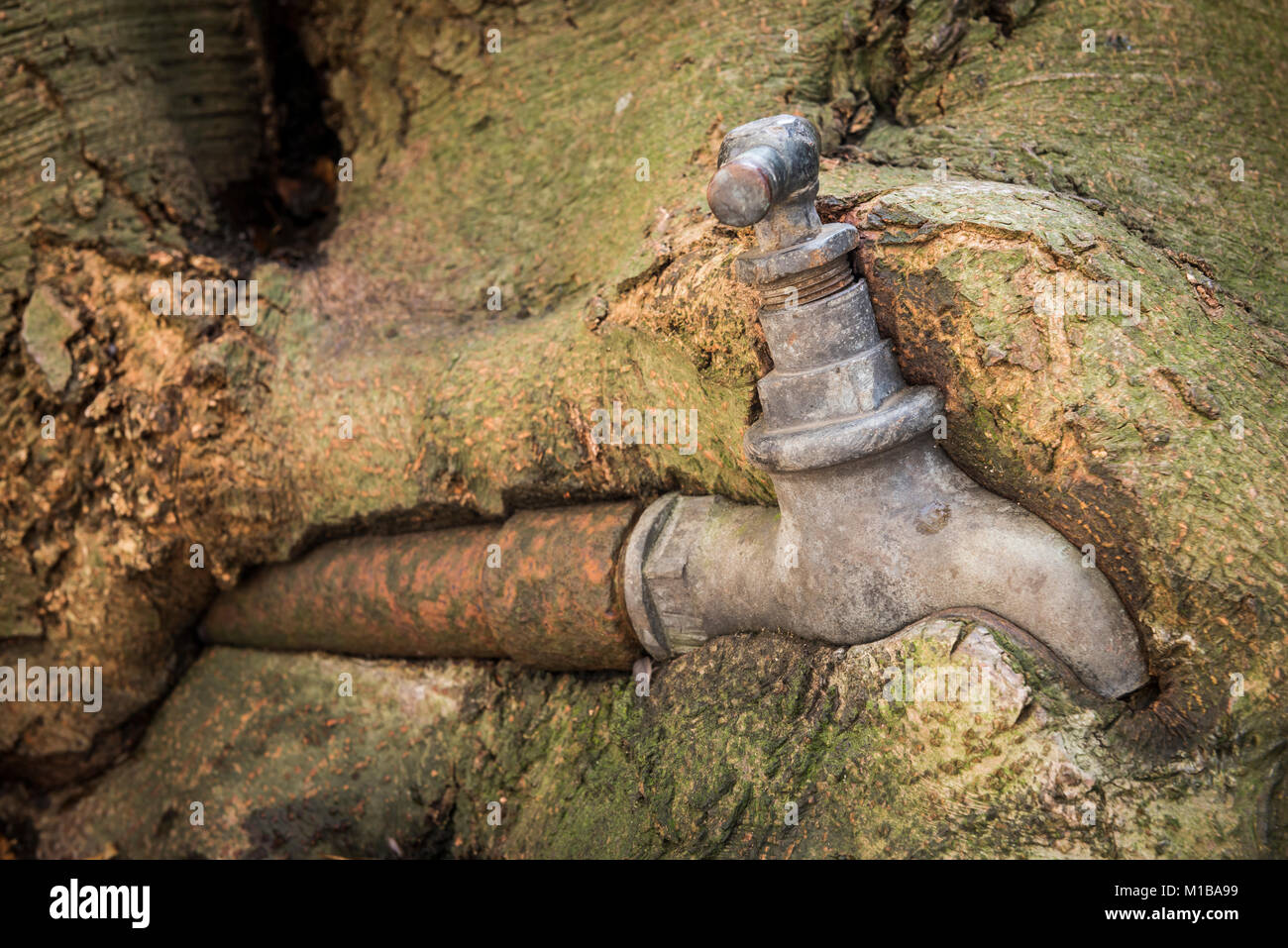 Old rusty water faucet overgrown by a old beech tree Stock Photo ...