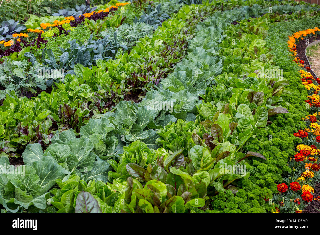Large Vegetable Garden Bed With Flowers For Companion Planting   Stock Image