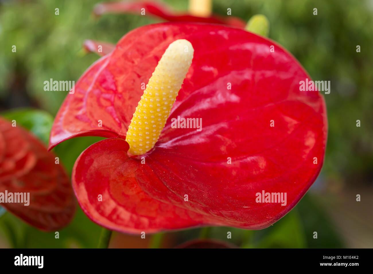 Andreanum stock photos andreanum stock images alamy - Anthurium turenza ...