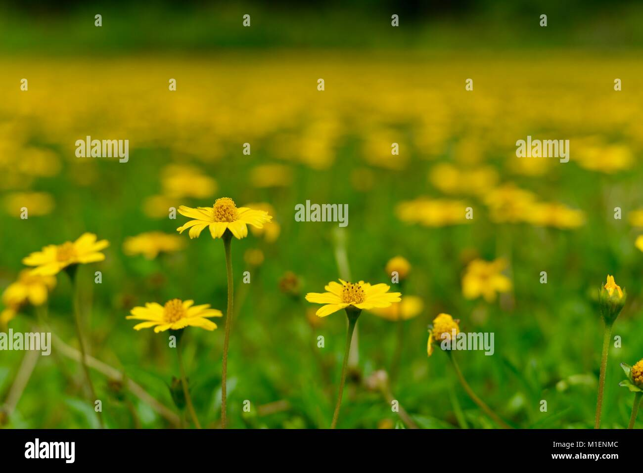 Field Of Yellow Flowers Singapore Daisy Sphagneticola Trilobata