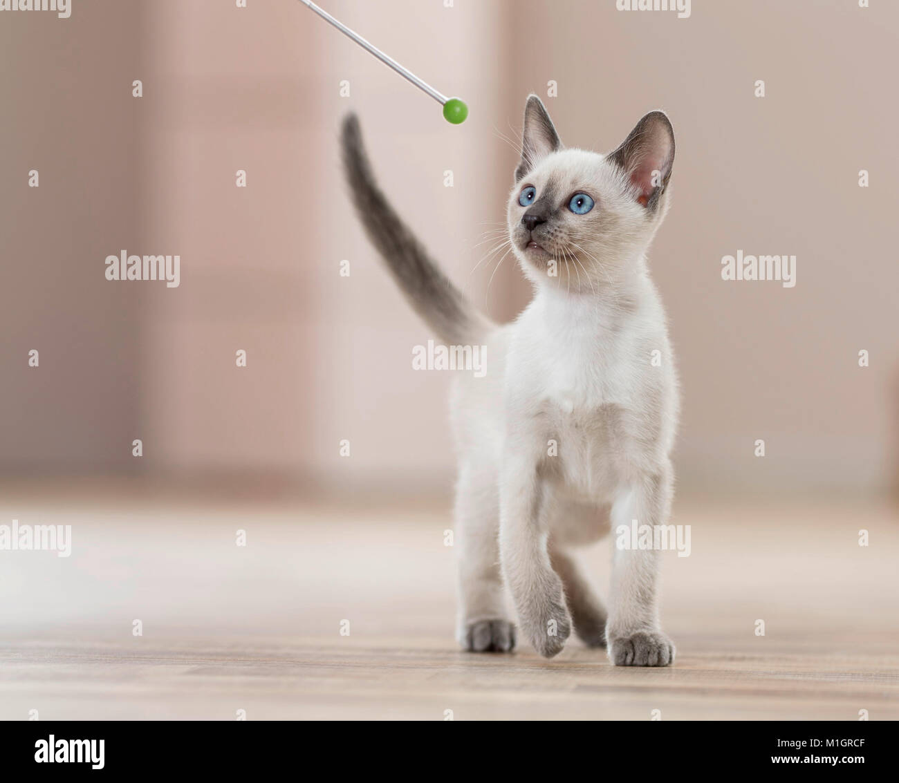 Siamese Stock Photos & Siamese Stock Images - Alamy
