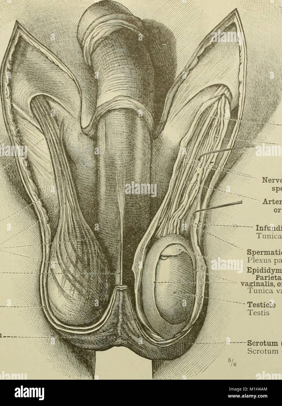 An atlas of human anatomy for students and physicians (1919 Stock ...