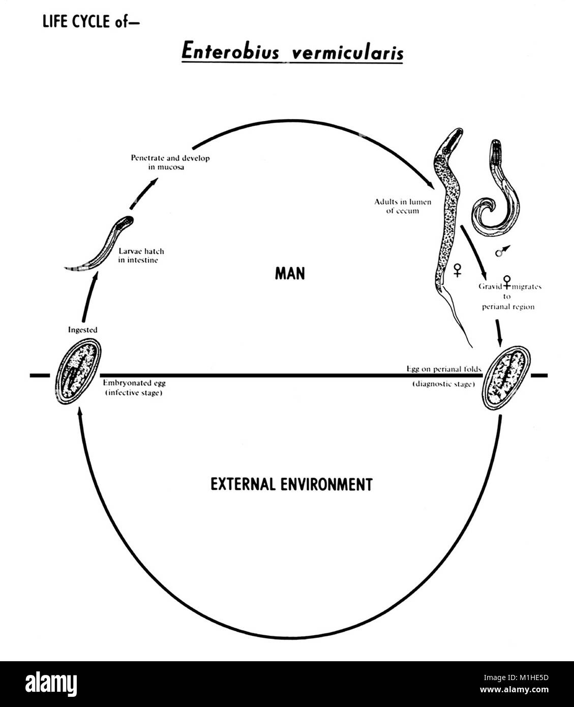 Nematoda black and white stock photos images alamy human pinworm nematode enterobius vermicularis various stages in the life cycle illustrated 1982 pooptronica Gallery