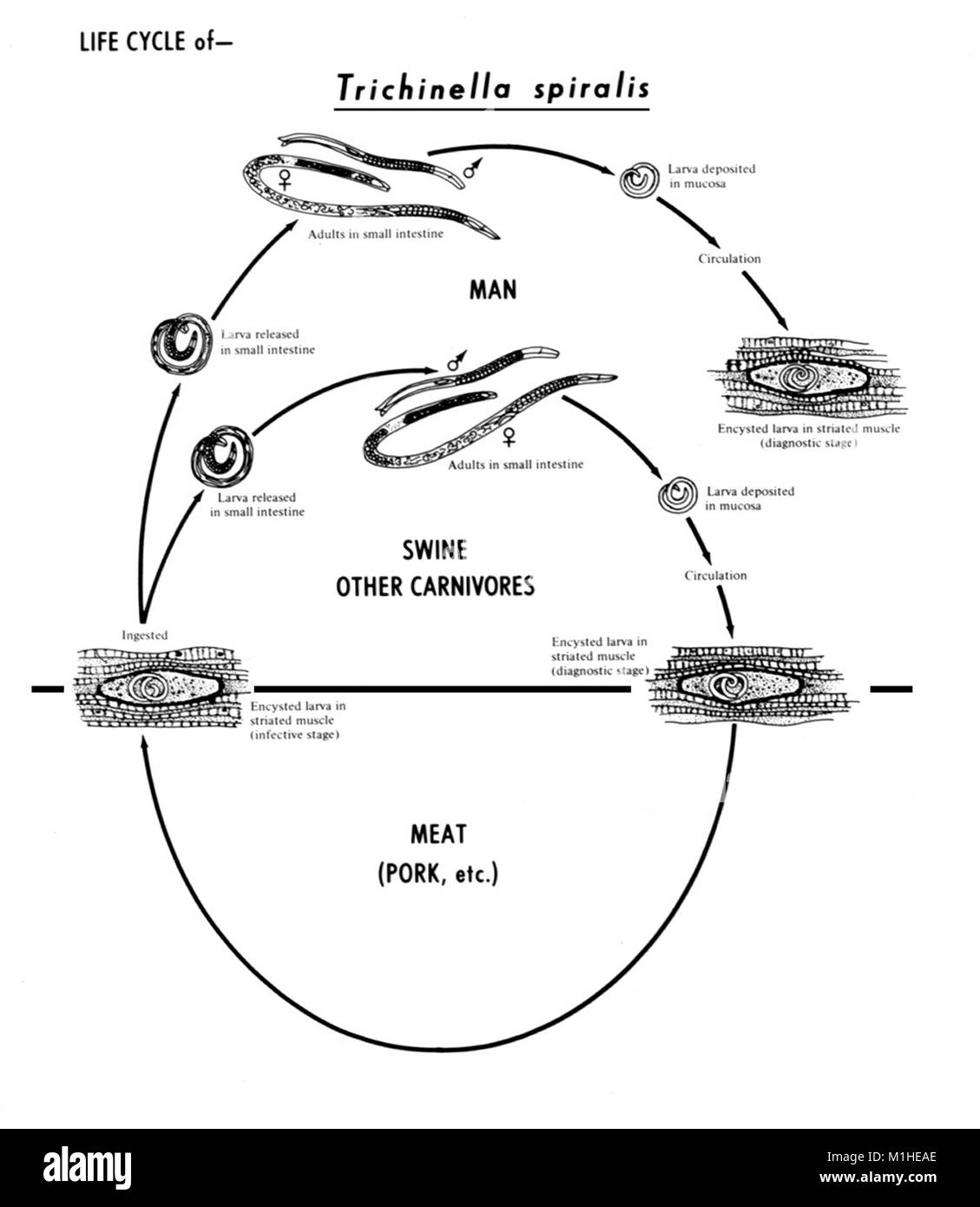 Nematoda black and white stock photos images alamy nematode trichinella spiralis various stages in the life cycle illustrated 1982 image pooptronica Gallery