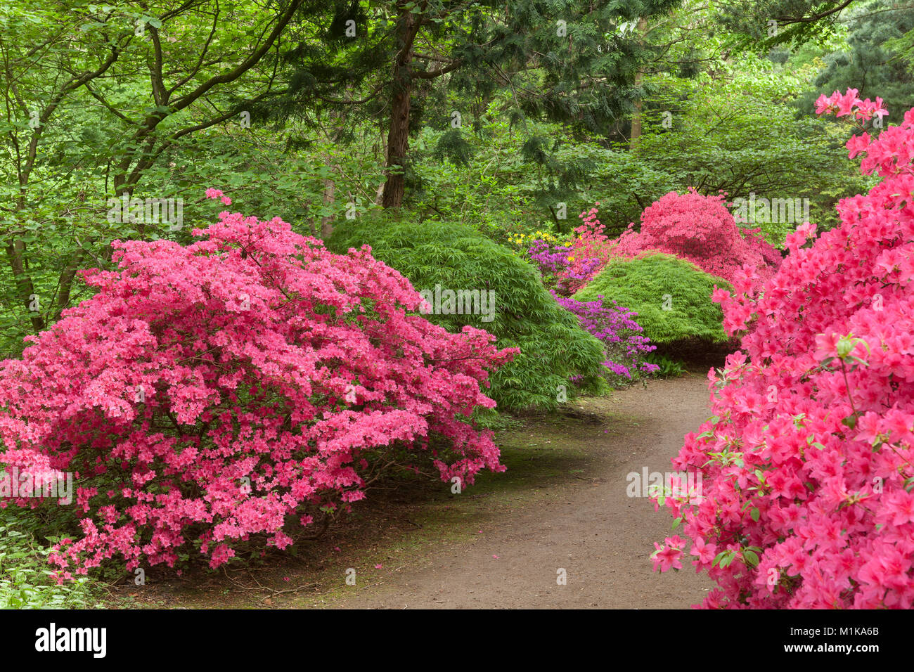 Germany Cologne Blooming Azalea Ans Maple Bush At The Stock Photo