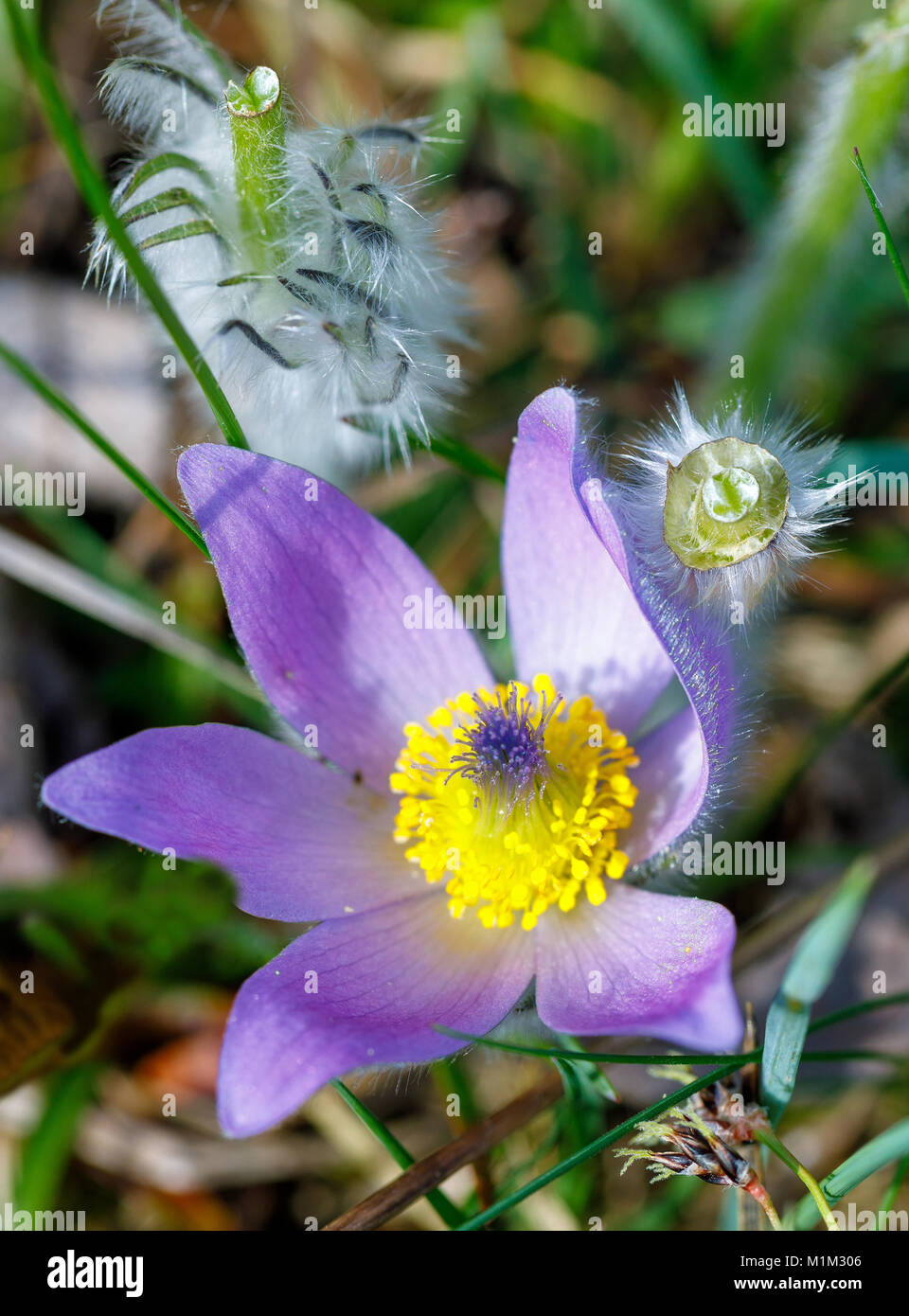 Early spring beautiful blue flowers pulsatilla pratensis small early spring beautiful blue flowers pulsatilla pratensis small pasque flower mightylinksfo