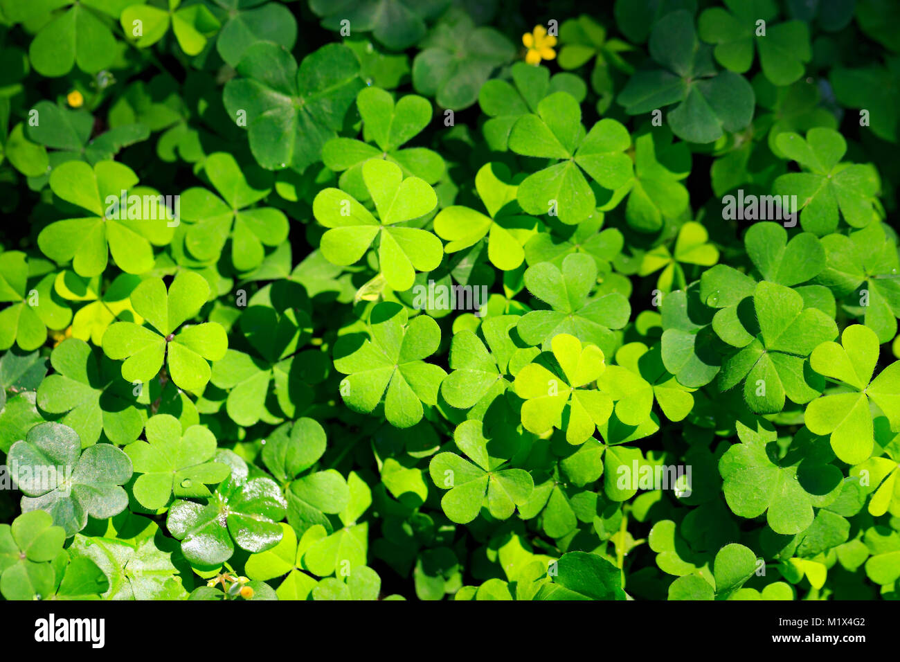 Clover And Little Yellow Flower Stock Photo 173292674 Alamy