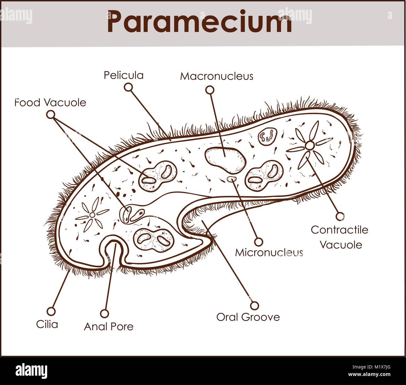 diagram of parts of the foot paramecium stock photos & paramecium stock images - alamy