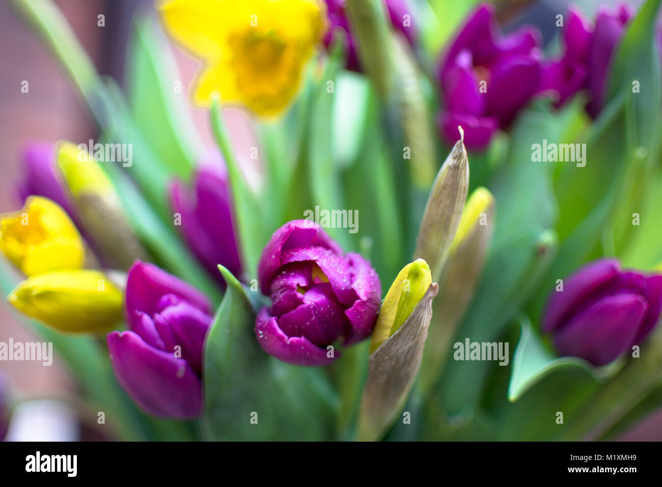 Bright Spring Flowers Tulips And Daffodils In Bloom And Bud Stock