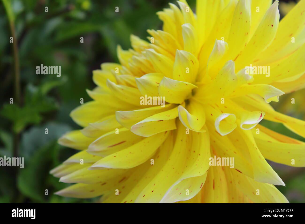 Yellow Dahlia Flower Akita Yellow In Flower Stock Photo 173311258