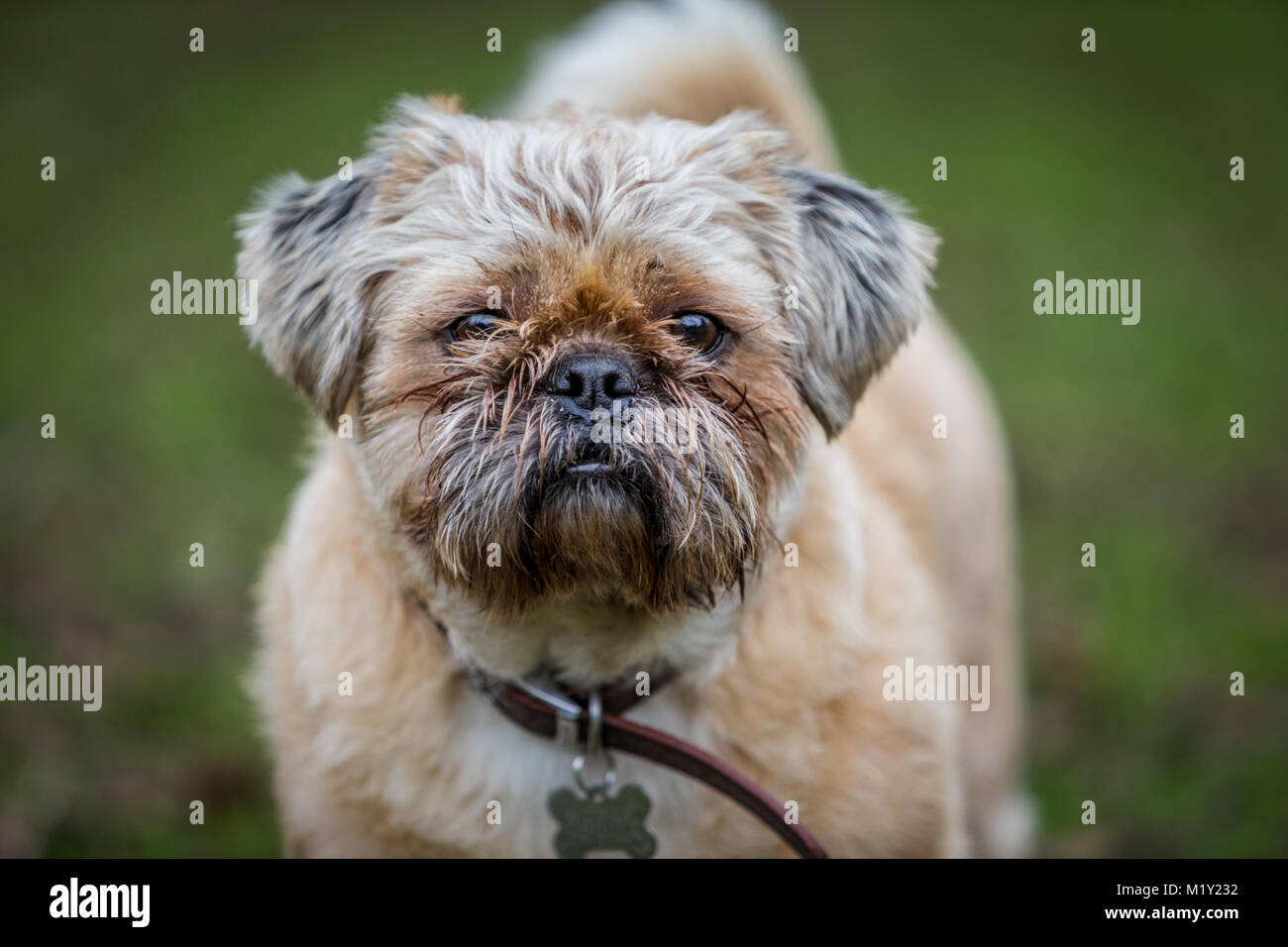 Pug Shih Tzu Cross Puppy Outside In Park Stock Photo 173312694 Alamy
