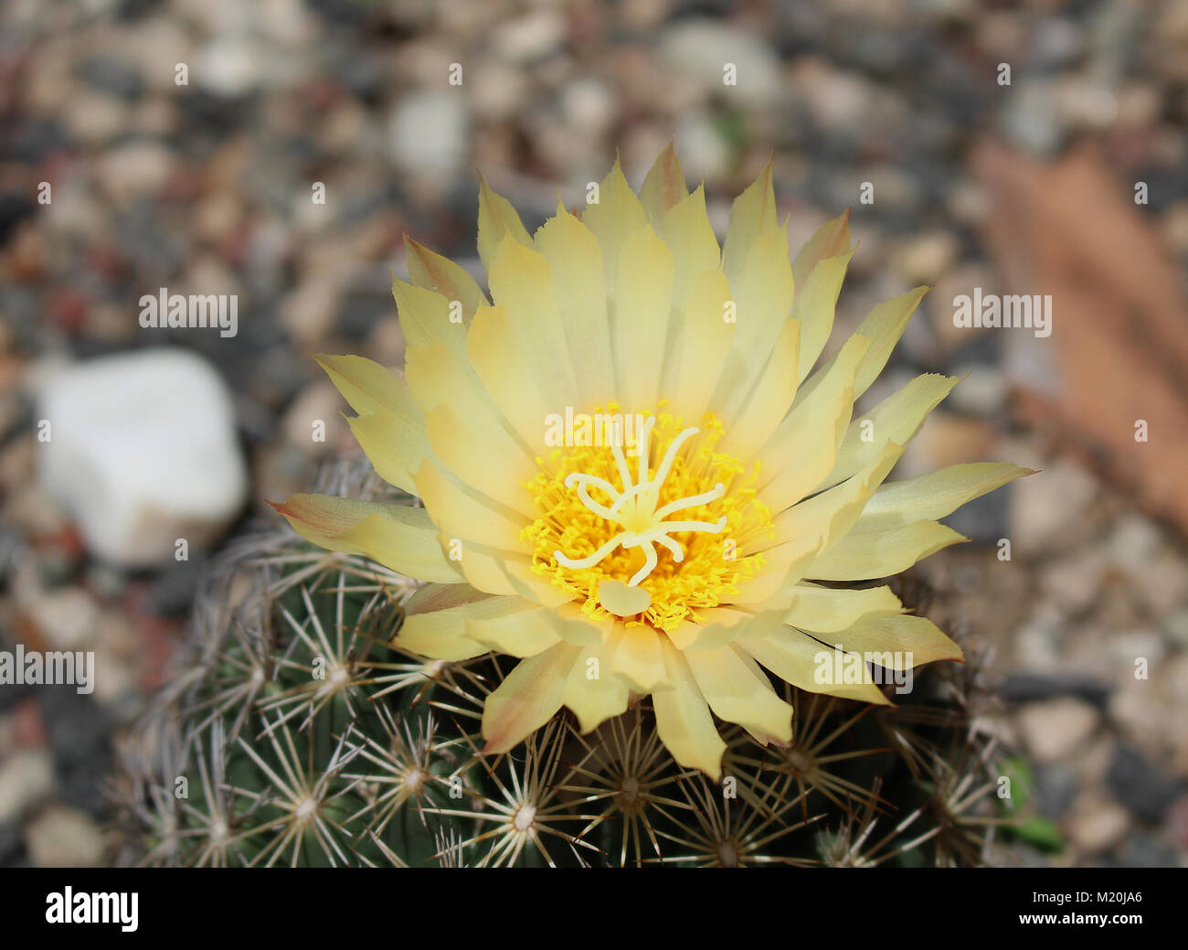 Beautiful Cactus With Yellow Flower Stock Photo 173347390 Alamy