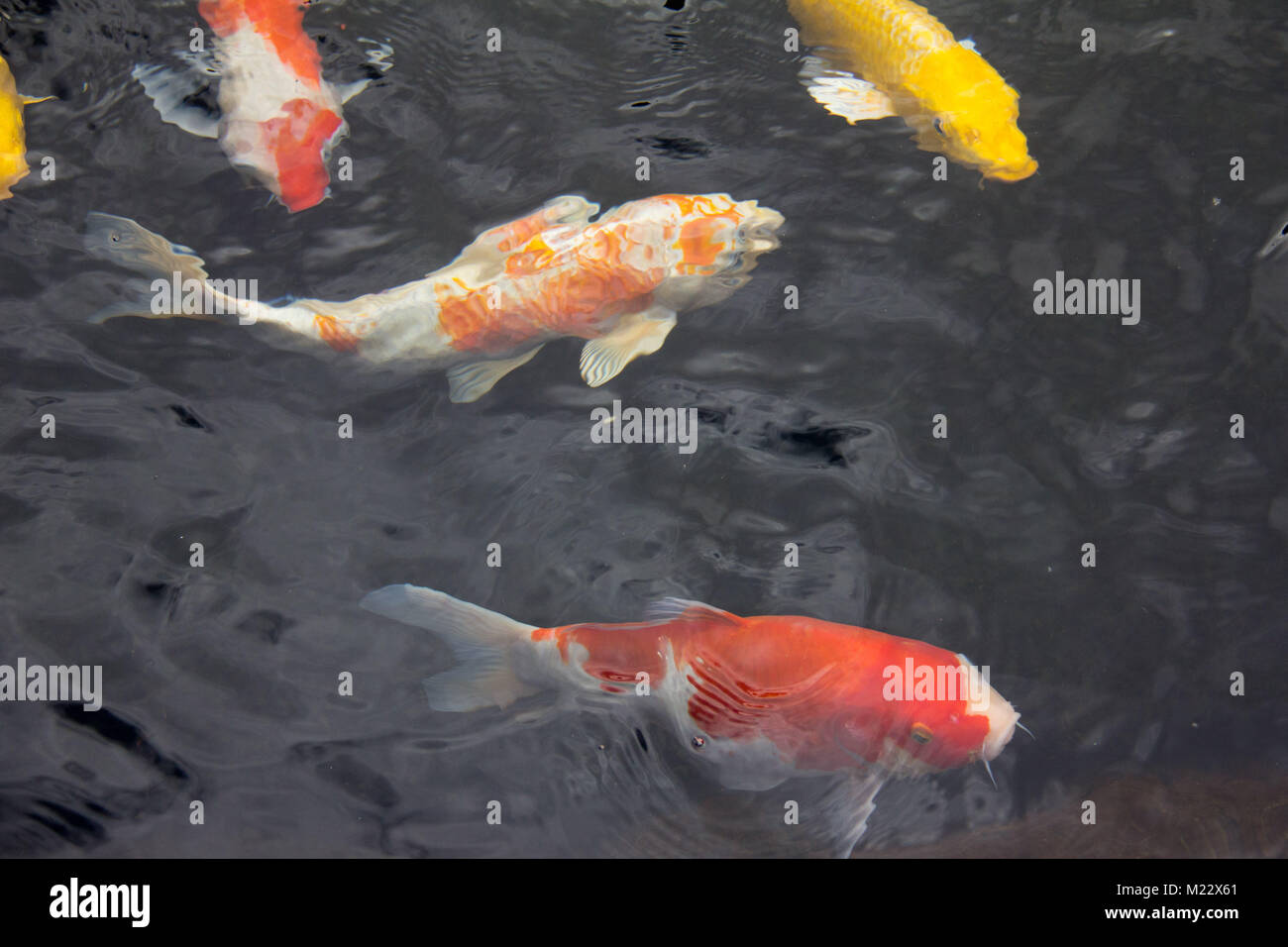 Coldwater fish stock photos coldwater fish stock images for Koi fish farm near me