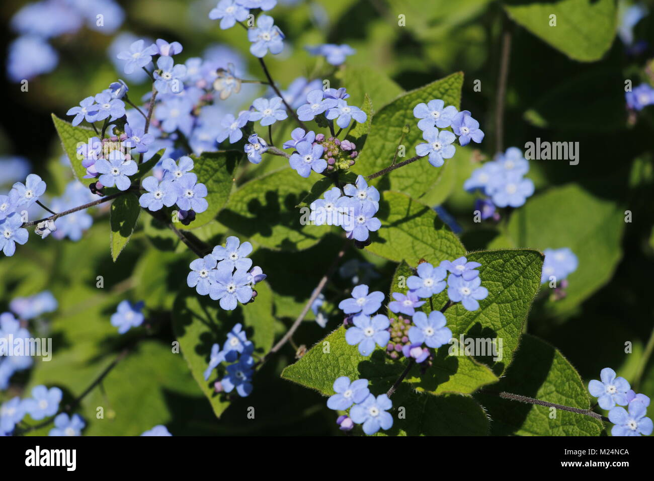 Forget Me Not Flowers Tiny Blue Flowers Stock Photo 173437610 Alamy