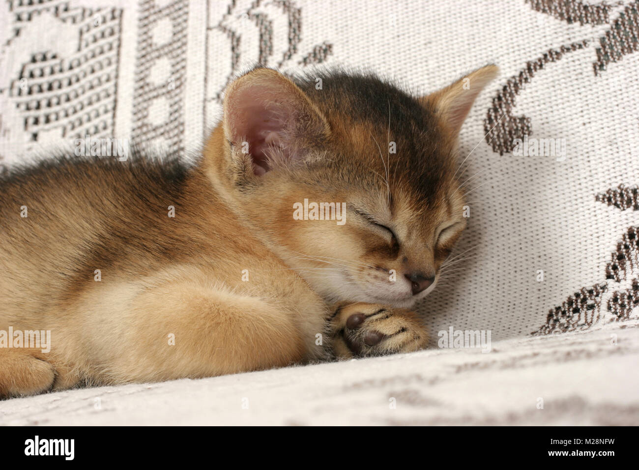 Ruddy Abyssinian Stock Photos & Ruddy Abyssinian Stock Images - Alamy