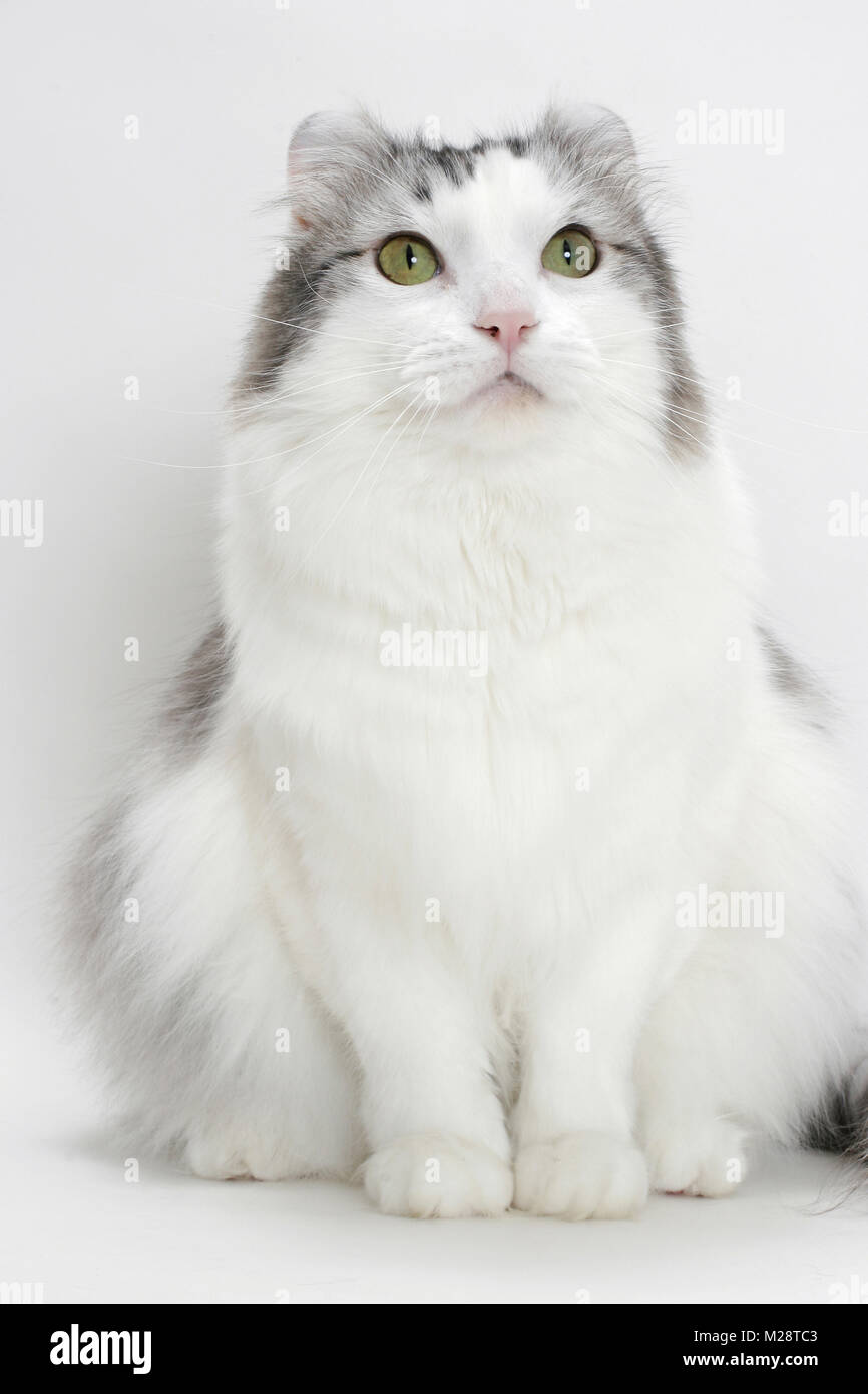 American Curl Cat White