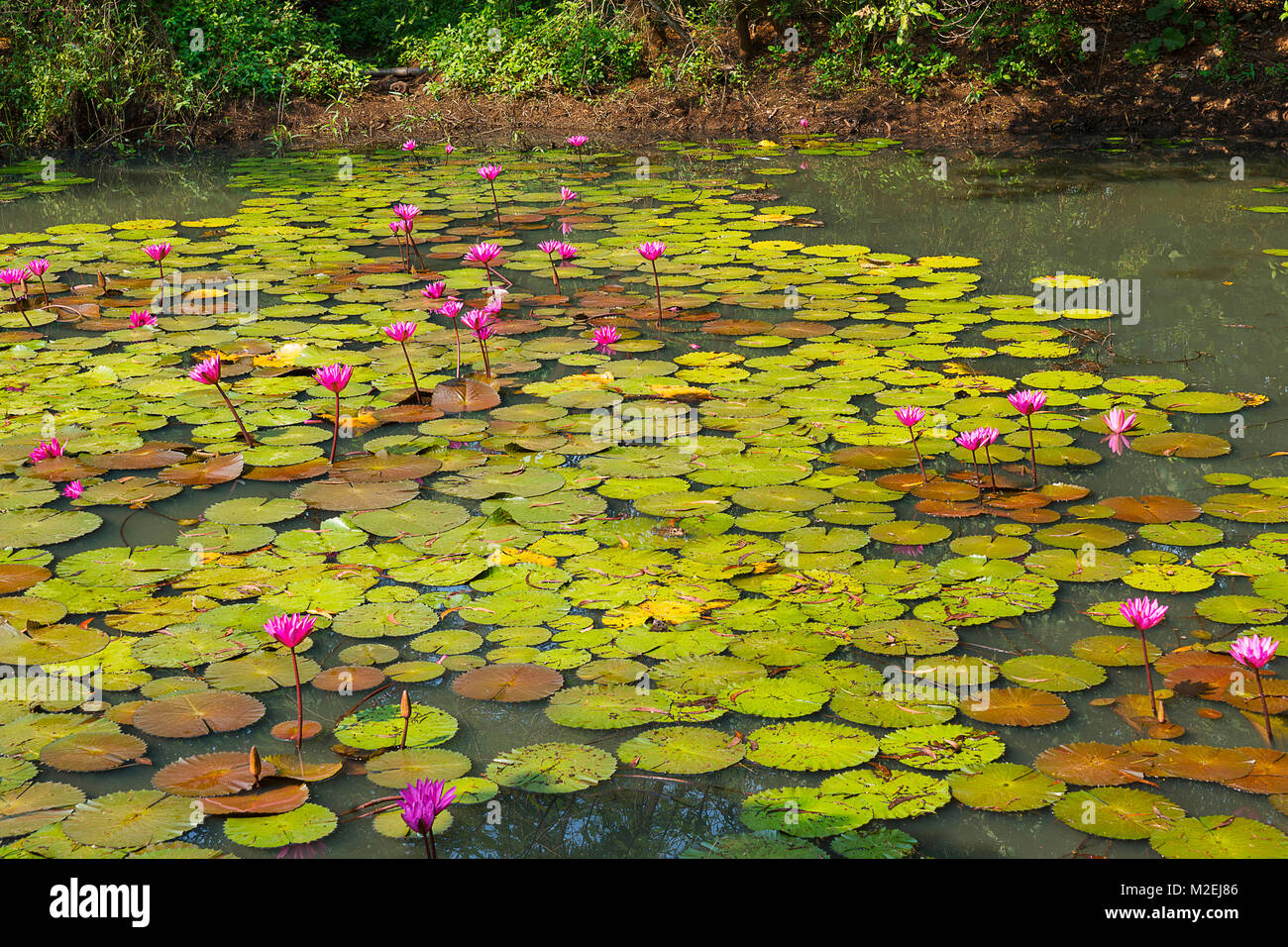 Pond full of pink lily lotus pink water lily or pink lotus kumud pond full of pink lily lotus pink water lily or pink lotus kumud in sanskrit native to india and south east asia toothed floating leaves elliptic mightylinksfo