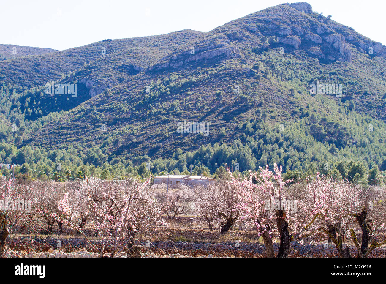 Beautiful Blooming Almond Trees With Flowers In Jalon Village Spain