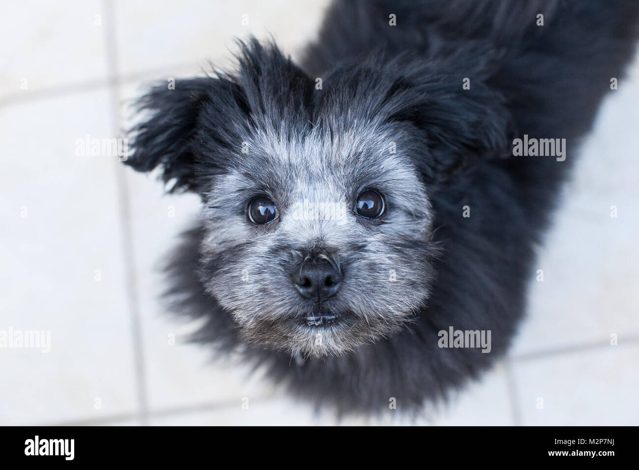 A Maltese Crossed With Shih Tzu Crossed With Pomeranian Puppy Stock