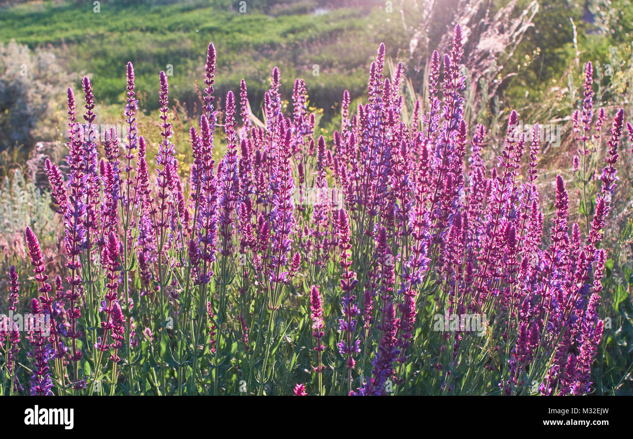 Sage Bush On The Cliff Purple Flowers Bush Lighted By The Beam Of