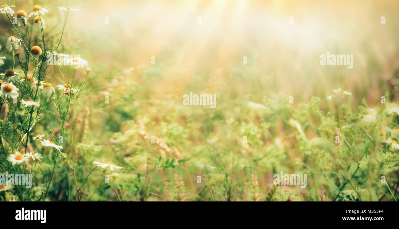 summer outdoor backgrounds. Beautiful Late Summer Outdoor Nature Background With Wild Herbs And Flowers On Meadow Sunbeams, Banner Backgrounds T