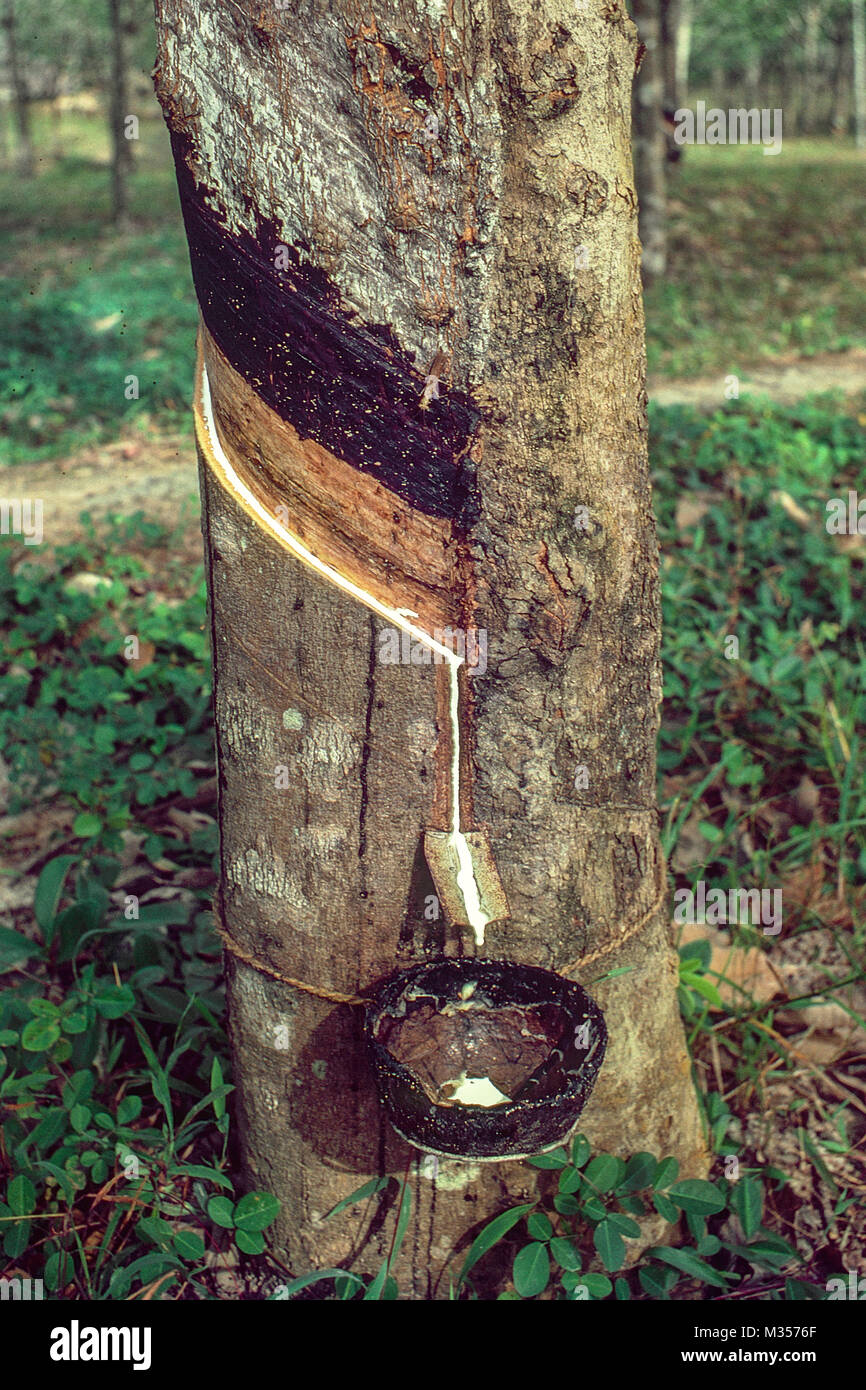 Kerala Rubber Trees Stock Photos Amp Kerala Rubber Trees