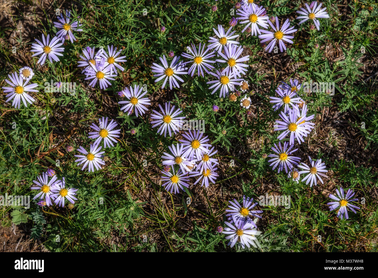 Beautiful floral background with delicate lilac flowers daisies beautiful floral background with delicate lilac flowers daisies growing on the meadow in the mountains izmirmasajfo Choice Image