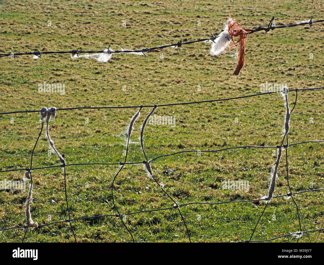 orange twine & strands of wool caught on barbed wire fence with ...