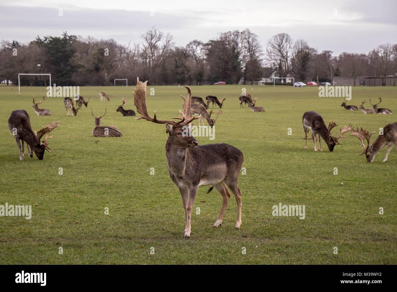 Phoenix park dublin deer