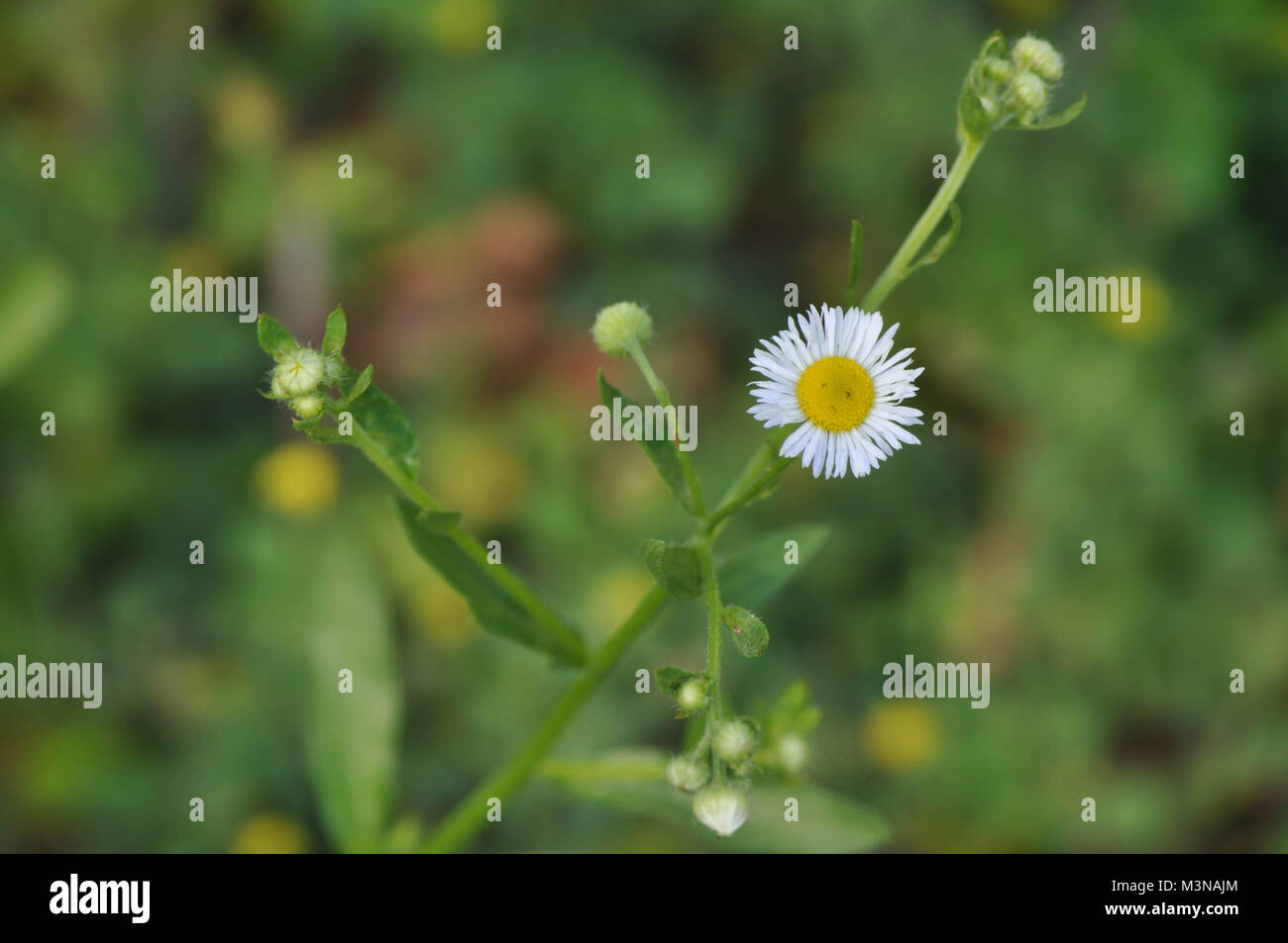 Small daisy flower looks like a sad frowning face stock photo small daisy flower looks like a sad frowning face izmirmasajfo