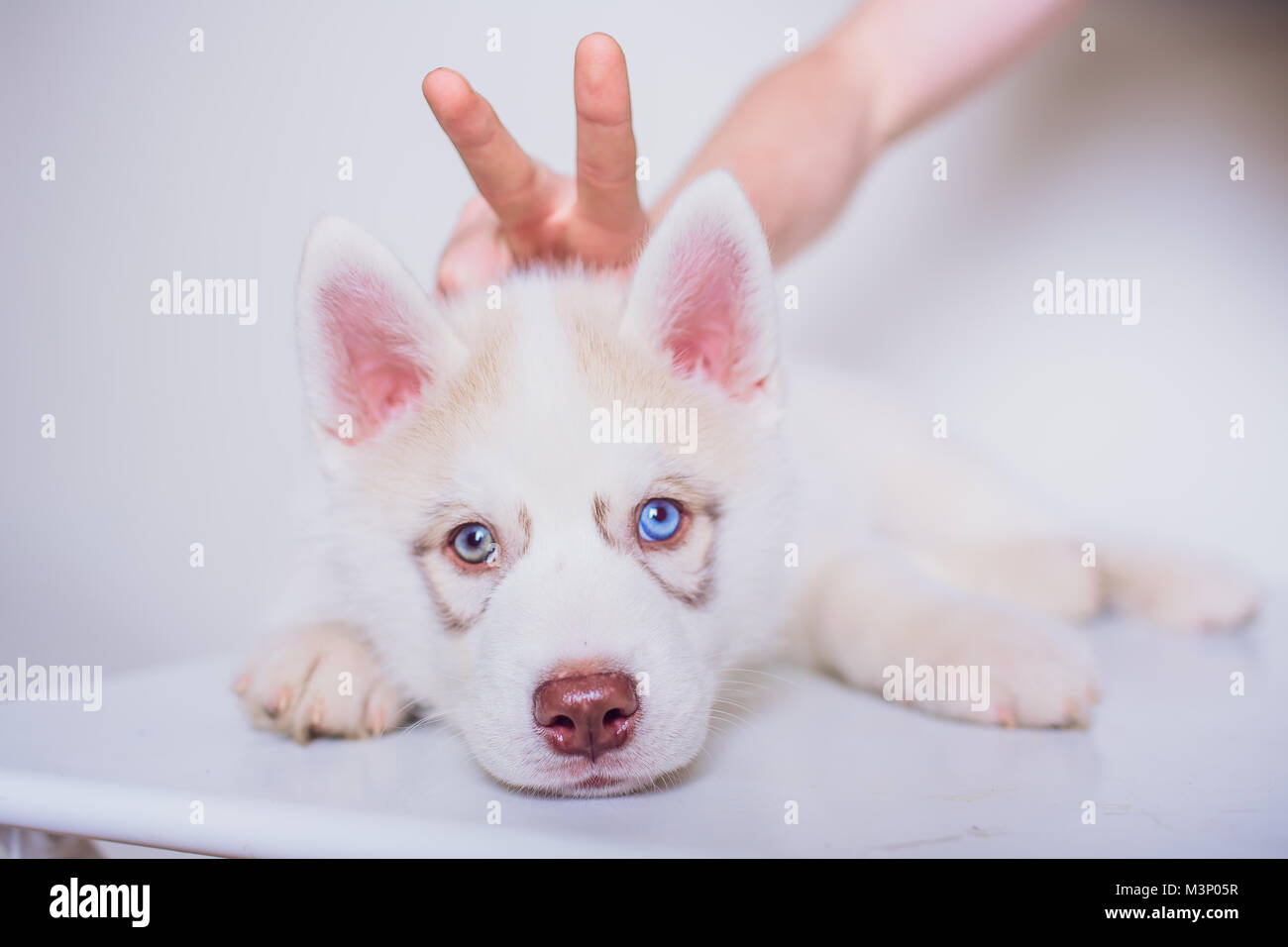 Cute Siberian Husky Puppy Sitting On White Background Isolated Stock