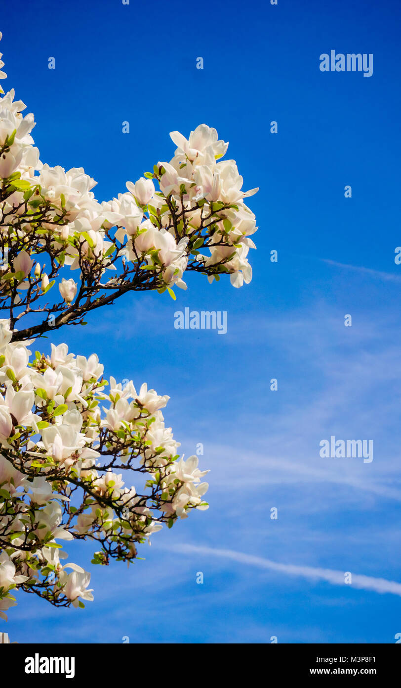 Magnolia flowers blooming trees stock photo royalty free image flowers blooming trees izmirmasajfo