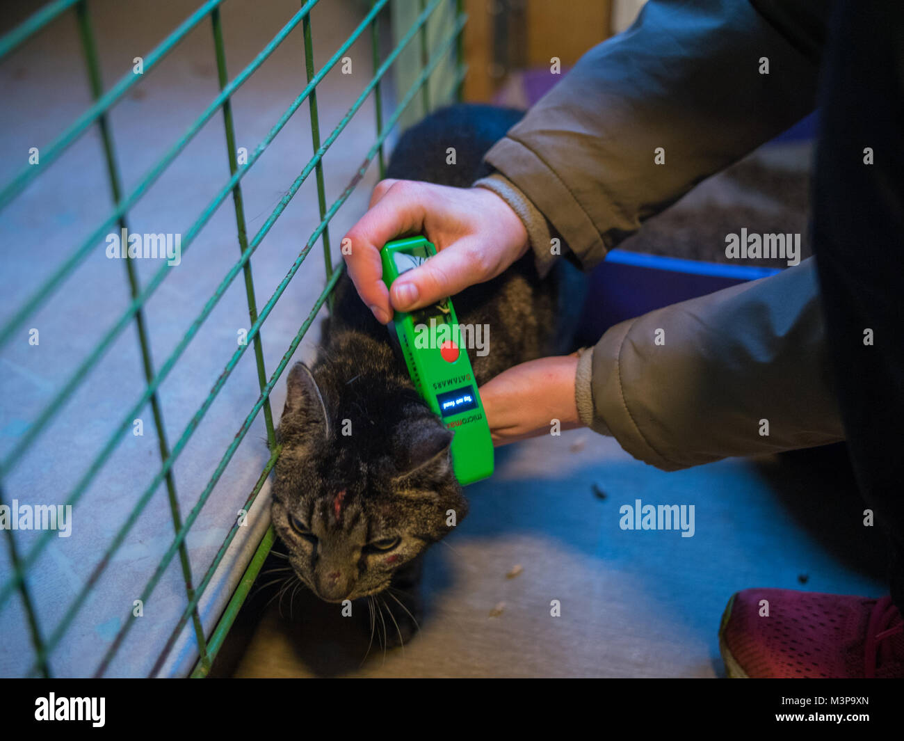 A Mistreated Feral Cat Captured By The Animal Rescue In Sweden Stock