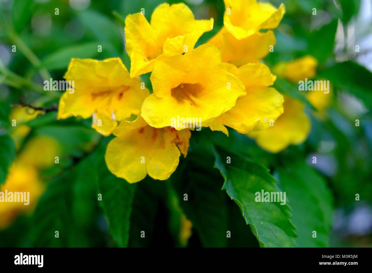 Yellow Elder Trumpetbush Trumpetflower Scientific Name Istecoma