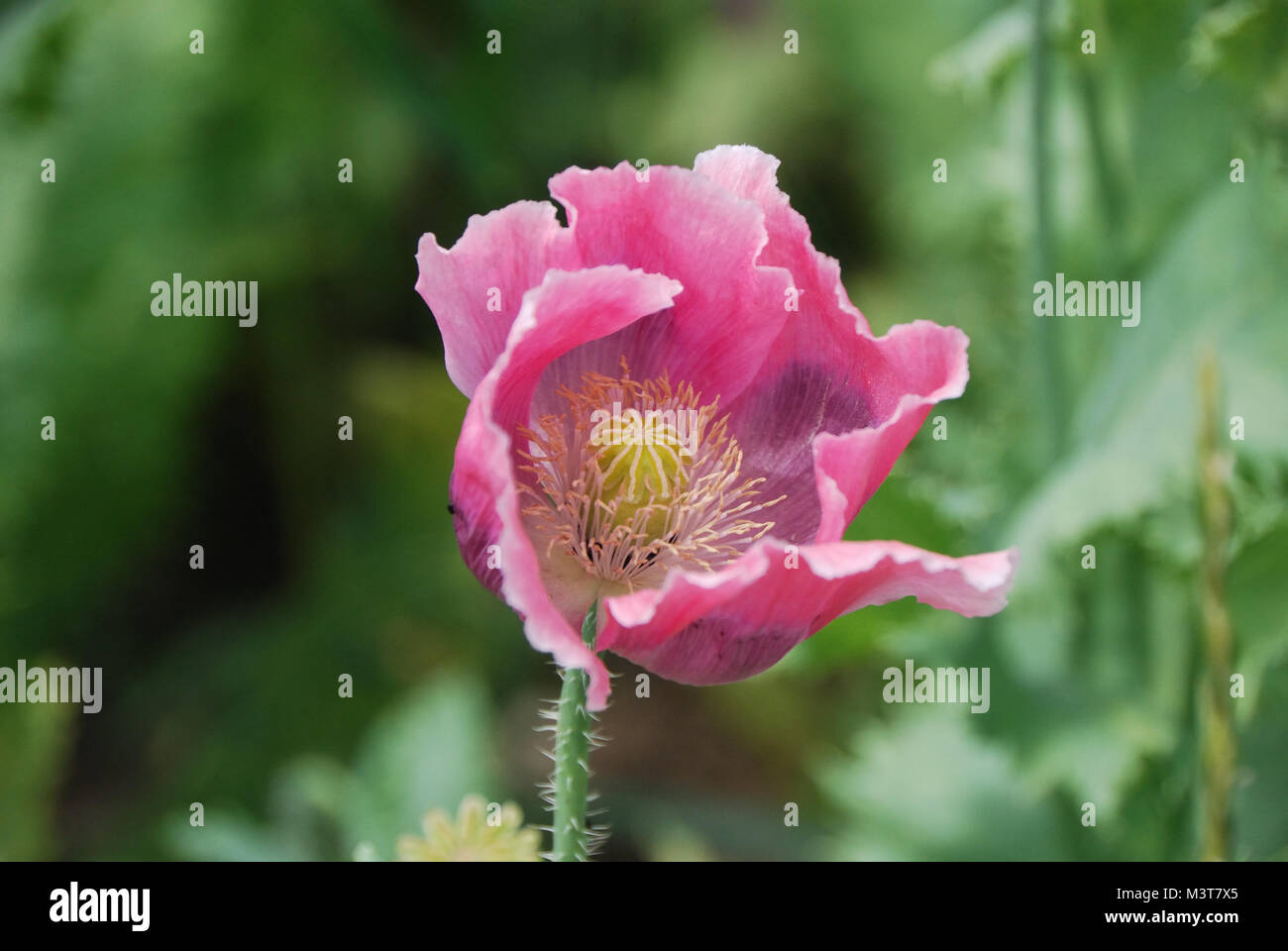 Beautiful Large Pink Poppy Flower In Summer Stock Photo 174480717