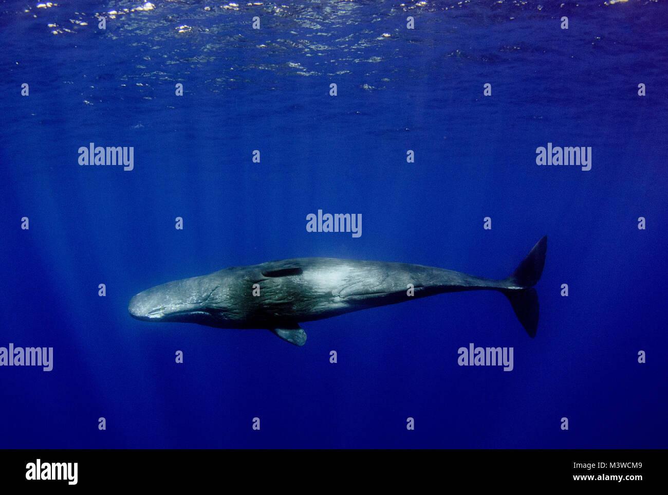 Sperm whale preditors