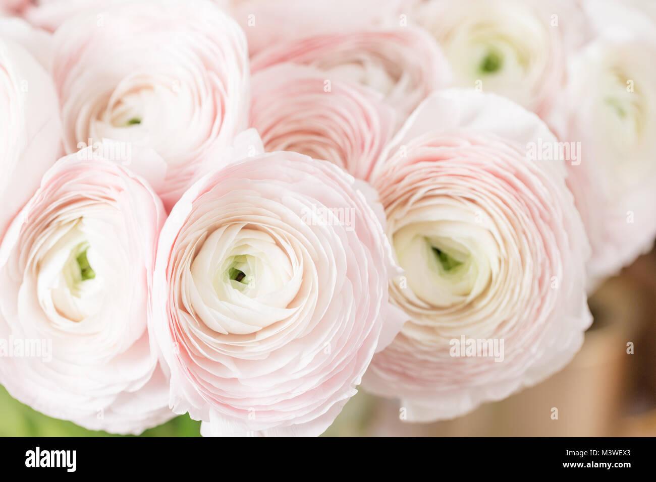 Persian Buttercup Bunch Pale Pink Ranunculus Flowers Light Stock
