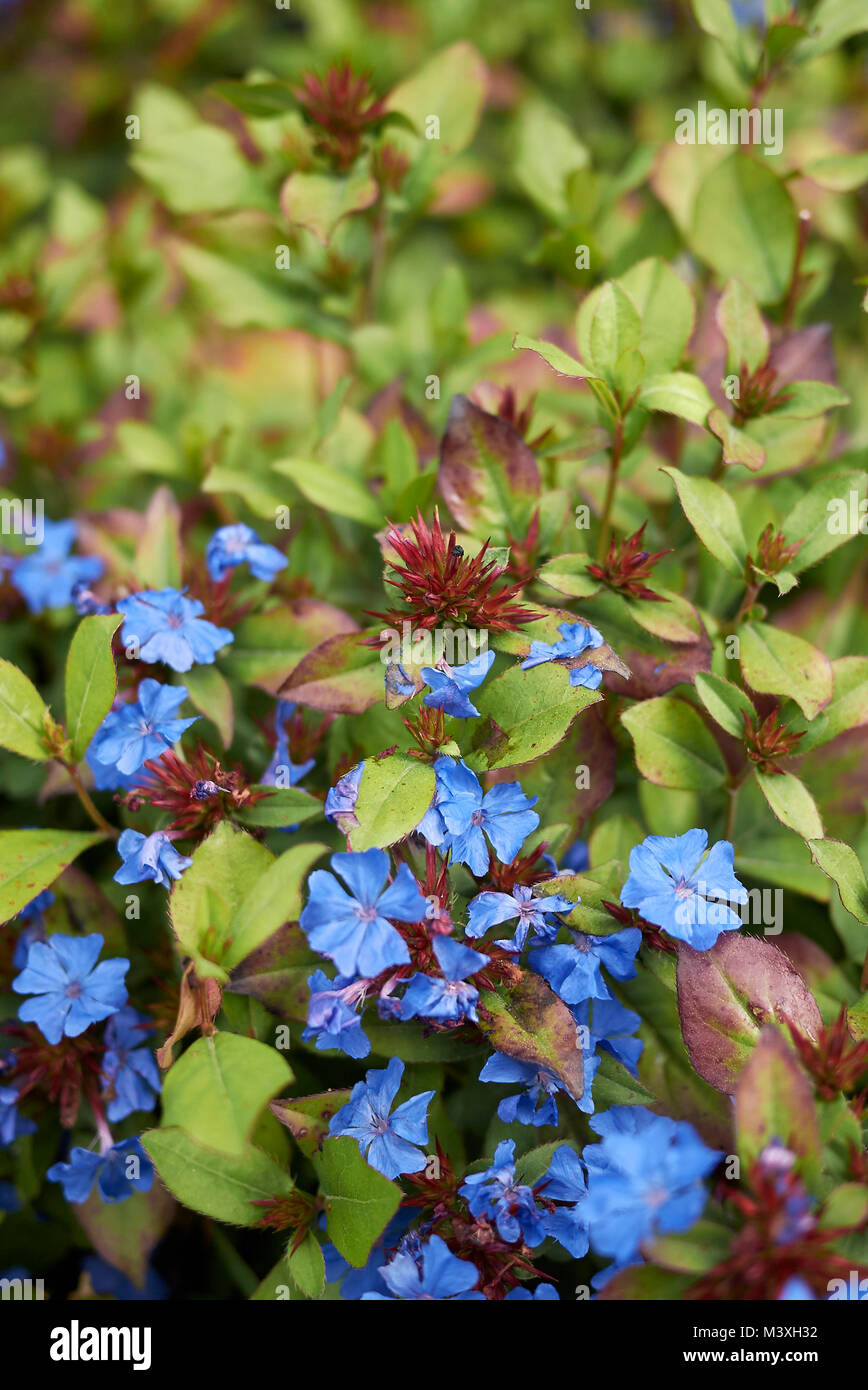 Ceratostigma Plumbaginoides Plants With Blue Flowers Stock Photo